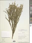view Tephrosia phylloxylon (R. Vig.) Du Puy & Labat digital asset number 1