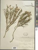view Cytisus radiatus Koch digital asset number 1