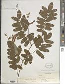 view Barbieria pinnata (Pers.) Baill. digital asset number 1