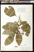 view Besleria laxiflora Benth. digital asset number 1