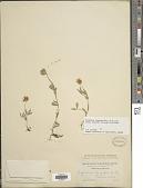 view Trifolium longipes subsp. hansenii (Greene) J.M. Gillett digital asset number 1