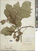 view Millettia pinnata (L.) Panigrahi digital asset number 1
