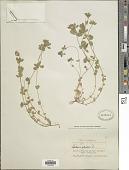 view Lotus edulis L. digital asset number 1