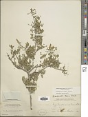 view Eysenhardtia texana Scheele digital asset number 1