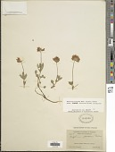 view Trifolium longipes subsp. shastense (House) J.M. Gillett digital asset number 1