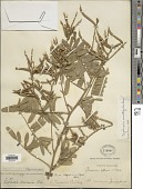 view Tephrosia multifolia Rose digital asset number 1