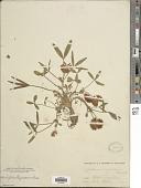 view Trifolium virginicum Small digital asset number 1