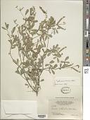 view Tephrosia senna Kunth digital asset number 1