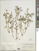 view Lupinus bicolor var. pipersmithii (A. Heller) C.P. Sm. digital asset number 1