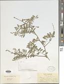 view Tephrosia purpurea (L.) Pers. digital asset number 1