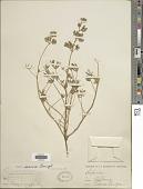 view Lupinus nanus Douglas ex Benth. digital asset number 1