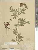 view Lupinus splendens Rose digital asset number 1