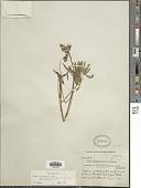 view Lupinus polyphyllus subsp. arcticus (S. Watson) L. Ll. Phillips var. arcticus digital asset number 1