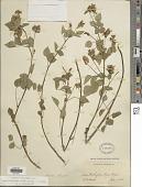 view Rupertia physodes (Douglas ex Hook.) J.W. Grimes digital asset number 1