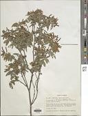 view Desmodium amplifolium Hemsl. digital asset number 1