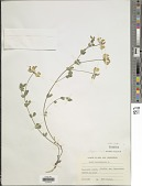 view Lotus corniculatus L. digital asset number 1