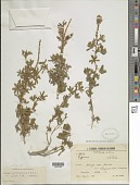 view Lupinus steinbachii digital asset number 1