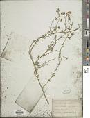 view Lotus tenuifolius digital asset number 1