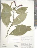 view Centropogon solanifolius Benth. digital asset number 1