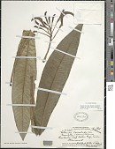 view Cyanea lanceolata (Gaudich.) Lammers et al. digital asset number 1