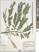 view Sesbania grandiflora (L.) Pers. digital asset number 1