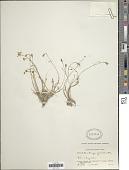 view Wahlenbergia gracilis A. DC. digital asset number 1
