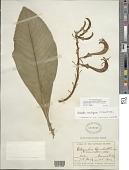 view Cyanea calycina (Cham.) Lammers digital asset number 1