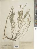 view Astragalus allicaulis digital asset number 1