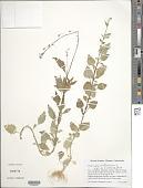 view Lobelia cliffortiana L. digital asset number 1