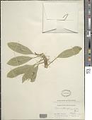 view Clermontia oblongifolia Gaudich. digital asset number 1
