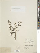 view Glycyrrhiza flavescens Boiss. digital asset number 1