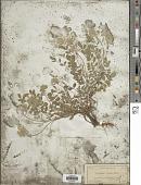 view Astragalus villosus Michx. digital asset number 1