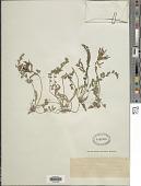 view Astragalus macedonicus Heldr. & Hadji digital asset number 1