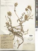 view Astragalus weberbaueri Ulbr. digital asset number 1