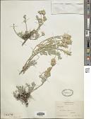 view Astragalus striatus Nutt. digital asset number 1