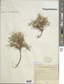 view Astragalus latus Zarre digital asset number 1