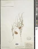 view Astragalus ceramicus E. Sheld. digital asset number 1