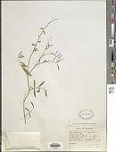 view Astragalus casei A. Gray digital asset number 1