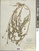 view Astragalus reflexus Torr. & A. Gray digital asset number 1