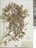 view Crotalaria capensis digital asset number 1