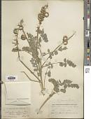 view Astragalus layneae Greene digital asset number 1