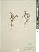view Astragalus tener A. Gray digital asset number 1