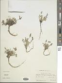 view Oxytropis parryi A. Gray digital asset number 1