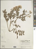 view Hedysarum sulphurescens digital asset number 1