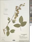 view Poiretia latifolia var. latifolia digital asset number 1
