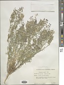 view Astragalus palmeri A. Gray digital asset number 1