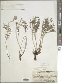 view Hedysarum boreale Nutt. digital asset number 1