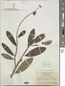 view Crotalaria sericea Retz. digital asset number 1