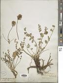 view Astragalus physodes L. digital asset number 1