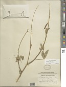 view Crotalaria pallida sensu Blanco non Ait. digital asset number 1
